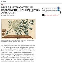 Meet the Moringa Tree, an Overqualified, Underachieving Superfood