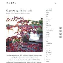 Övervintra japansk lönn i kruka - ZETAS