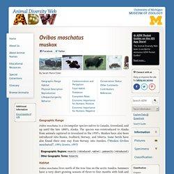 Animal Diversity: Musk oxen - Ovibos moschatus