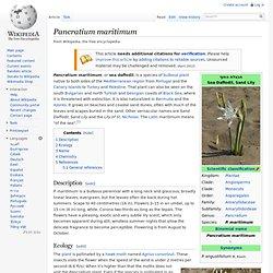 Pancratium maritimum