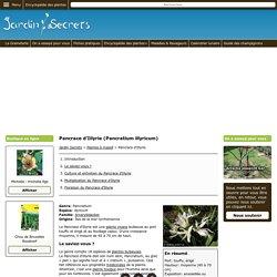 Pancrace d'Illyrie (Pancratium illyricum) : culture, entretien, semis