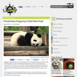 Panda Fakes Pregnancy To Get More Food
