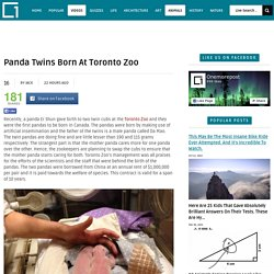 Panda Twins Born At Toronto Zoo