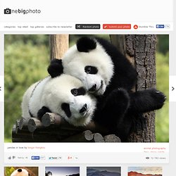 pandas in love photo
