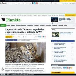 La panthère de l'Amour, espoir des espèces menacées selon le WWF