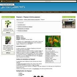 Papayer / Papaye (Carica papaya)