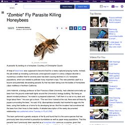 """Zombie"" Fly Parasite Killing Honeybees"
