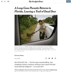 NYTIMES 25/11/16 A Long-Gone Parasite Returns to Florida, Leaving a Trail of Dead Deer (lucilie bouchère)