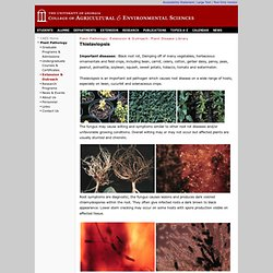 Plant Pathology | Extension | Thielaviopsis | CAES | UGA