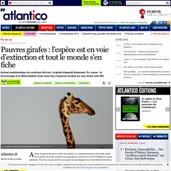 Pauvres girafes: l'espèce est en voie d'extinction et tout le monde s'en fiche