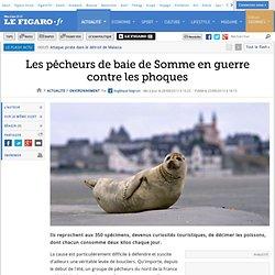 Les pêcheurs de baie de Somme en guerre contre les phoques