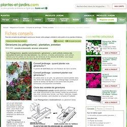 Géraniums (ou pélagoniums) : plantation, entretien