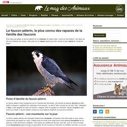 Le faucon pèlerin, le plus connu des rapaces de la famille des faucons