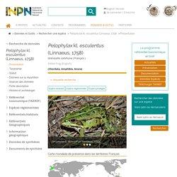 Pelophylax kl. esculentus-Grenouille commune-Présentation