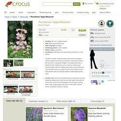 Buy beard tongue Penstemon 'Apple Blossom': Delivery by Crocus