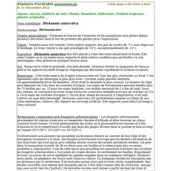 Pépinière Palmaris Fiche Dicksonia antarctica