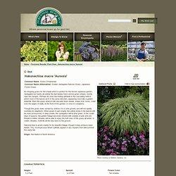 Perennial Results: Plant View - Hakonechloa macra 'Aureola'