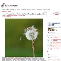 Tiny Mouse Climbing a Dandelion