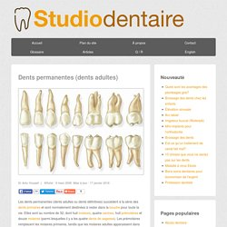 Dents permanentes - dents adultes - Studio Dentaire