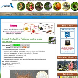 Semer de la phacélie à feuilles de tanaisie comme engrais vert