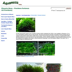 Phoenix Moss, Fissidens fontanus. - How to grow Aquatic Moss.