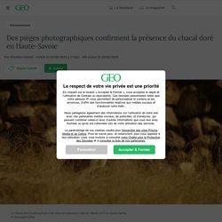 Des pièges photographiques confirment la présence du chacal doré en Haute-Savoie
