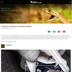 In photos: Anatomy of a black mamba
