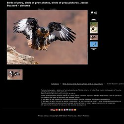 Birds of prey, birds of prey photos, birds of prey pictures, Jackal Buzzard - pictures