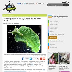 Sea Slug Steals Photosynthesis Genes From Algae
