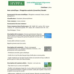 INRA DIJON - Nom scientifique : Phragmites australis (Cavanilles) Steudel