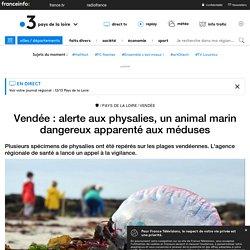 FRANCE 3 17/11/19 Vendée : alerte aux physalies, un animal marin dangereux apparenté aux méduses