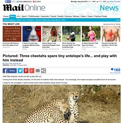 Pictured: Three cheetahs spare tiny antelope's life... and play with him instead