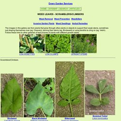 Pictures of Common Weed Leaves climbers