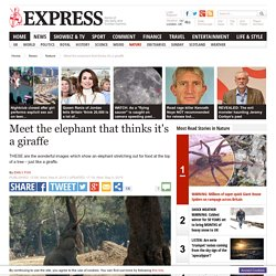 Pictures: The Elephant who thinks it is a giraffe