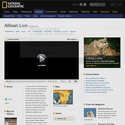 African Lions, African Lion Pictures, African Lion Facts, African Cats