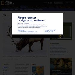 Elk, Elk Pictures, Elk Facts
