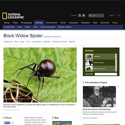 Black Widow Spiders, Black Widow Spider Pictures, Black Widow Spider Facts