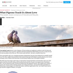 What Pigeons Teach Us About Love - Nautilus - Pocket