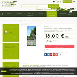 Echium pininana, vipérine des Canaries