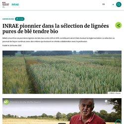 INRAE pionnier dans la sélection de lignées pures de blé tendre bio