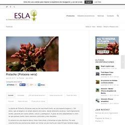 Planta de Pistacho (Pistacea vera) - Agroforestal ESLA