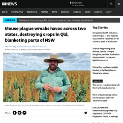Mouse plague wreaks havoc across two states, destroying crops in Qld, blanketing parts of NSW