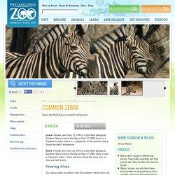 Plains zebra - Philadelphia Zoo
