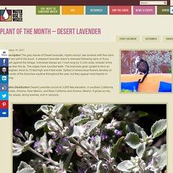PLANT OF THE MONTH – DESERT LAVENDER