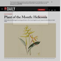 Plant of the Month: Heliconia