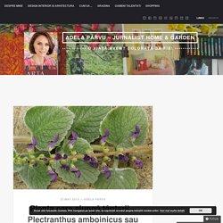 Planta care alungă țânțarii – Plectranthus amboinicus sau țânțărica