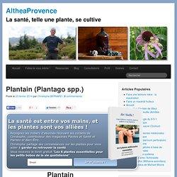 Plantain (Plantago spp.) - AltheaProvence