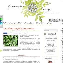Le plantain une plante très facile à reconnaître
