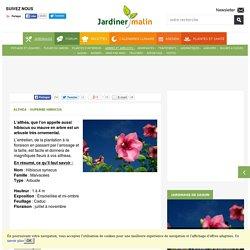 Althea : plantation, taille et conseils d'entretien