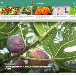 Figuier : plantation, culture, conseils d'entretien et récolte
